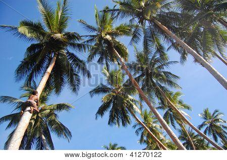 Boy Climbs At Coconut Palm