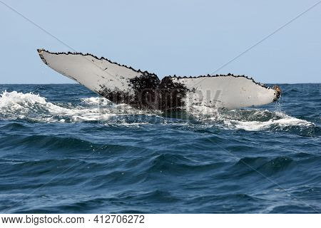 The Humpback Whale (megaptera Novaeangliae), Tail In The Ocean. Huge Tail Whale In The Blue Ocean.