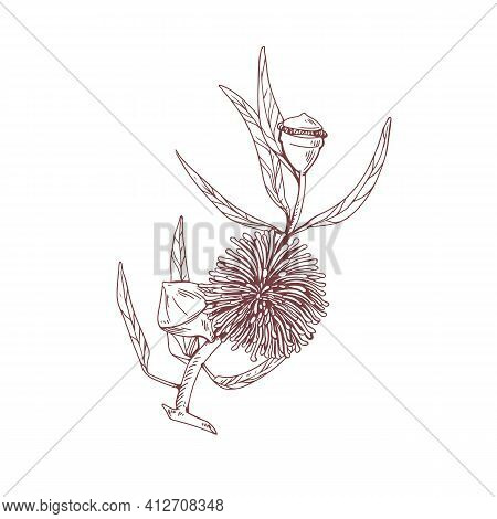 Hand-drawn Sketch Of Blossomed Eucalyptus Flower With Lush Petals. Outlined Drawing Of Botanical Ele