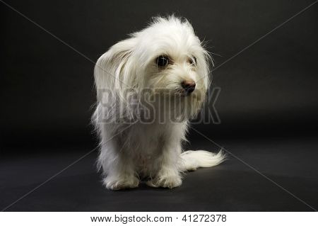 White Chihuahua Cross Sat Isolated On A White Background