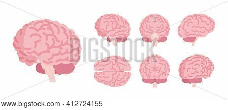 Human Brain Set For Anatomical Study, Medical, Scientific Classroom Model. Nervous System Central Or