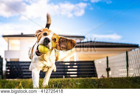 Dog Run, Beagle Jumping Fun In The Garden Summer Sun With A Toy Fetching