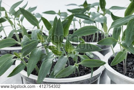 Seedlings Of Young Pepper Plants Are Grown In Containers. Front View, Close-up.