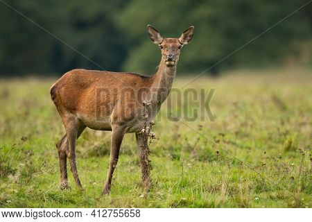 Red Deer Hind Standing On Meadow In Autumn Nature.