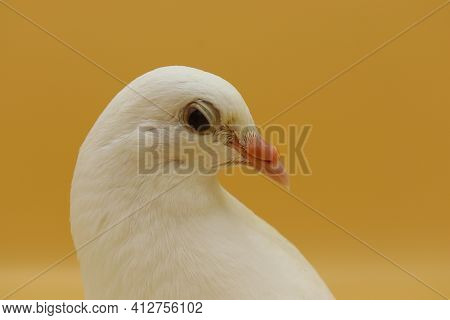 English Fantail Pigeon, Beautiful White Pigeon Isolated On Orange Background