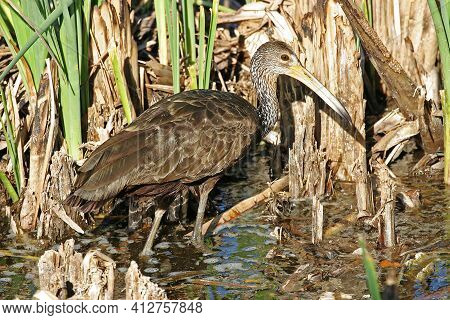 A Limpkin, Aramus Guarauna, Hunting In Marsh