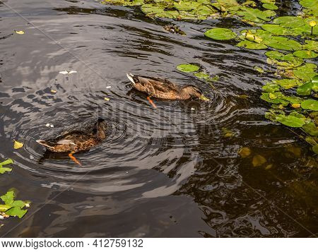 Ducks On The Pond In The Park. Wild Ducks Are Reflected In The Lake. Multi-colored Feathers Of Birds