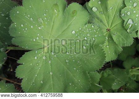Leaf Alchemilla Mollis, The Garden Ladys-mantle Or Ladys-mantle With Dewdrops In The Garden. It Is A