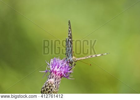 A Silver-washed Fritillary Butterfly (argynnis Paphia) Sits On A Greater Knapweed Flower (centaurea