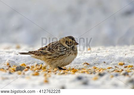 A Lapland Longspur Or Bunting, Calcarius Lapponicus, Eating Corn Kernals