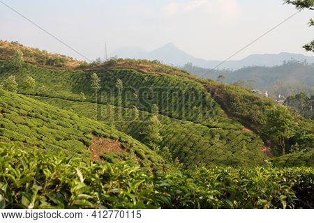 Lush Tea Plantation Fields In Munnar, India