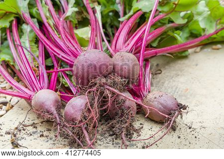 Beetroot Boltardy, Beetroots, Garden Beet Or Red Beet And Beet Leaves On The Ground After Picking, U