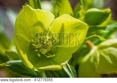 Eurasian Helleborus Flowering Plant, Close-up Photo Of Hellebores Plant