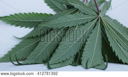 Cut Fresh Marijuana Leaves Leaning Against A Vertical Surface And Visible Back Of The Leaf Close-up,