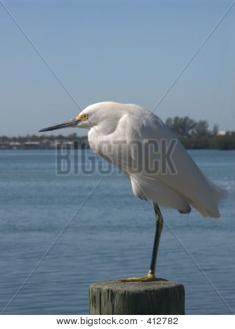 Snowy Egret On A Pole