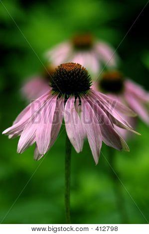 Flora-Sonnenhut-lila