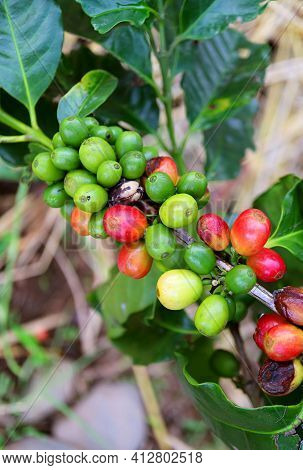 Vertical Image Of Bunch Of Unripe Coffee Cherries On The Tree Branch