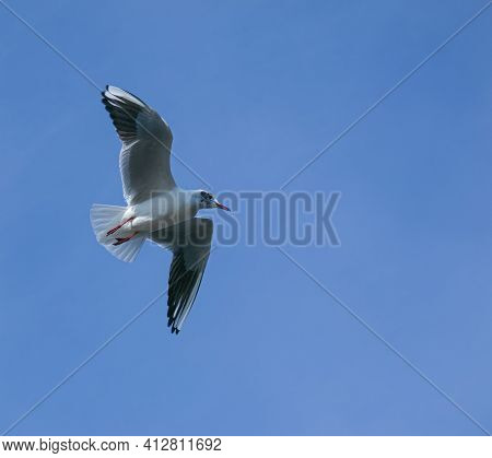 Seagull Flying Against The Blue Sky. Most Gulls Belong To The Large Genus Larus. In Everyday Life, R