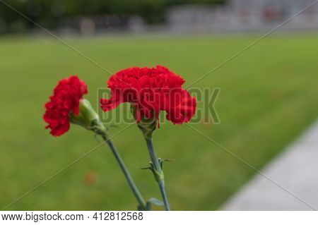 Concept Background Of May 9 Russian Holiday Victory Day. Two Red Carnations Isolated On Blurred Back