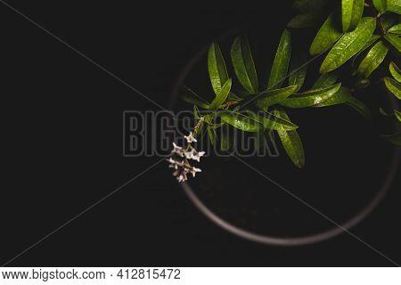 Macro Close Up Portrait Of Aloysia Citrodora Or Lemon Verbena