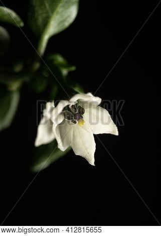 Close Up Flower Of Serrano Chili Pepper Plant