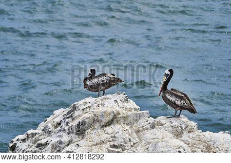 Bird Colony In Paracas National Park At The Pacific Ocean Coast Line Of Peru. Peruvian Pelican Sitti