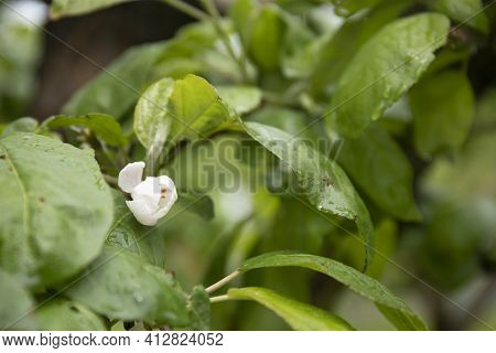 Branch Of Apple Tree With Green Leaves And Flowers