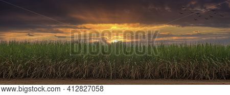 Sugarcane Field At Sunset. Sugarcane Is A Grass Of Poaceae Family. It Taste Sweet And Good For Healt