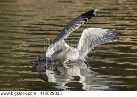 A Seagull Catches A Fish In The Calm Lake In Coeur D'alene, Idaho.