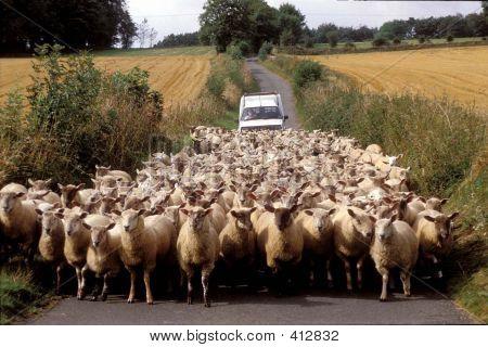Car And Sheep2