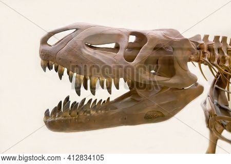 The Skull Of The Predatory Theropod Dinosaur Tarbosaurus (latin: Tarbosaurus Bataar) Is Isolated On