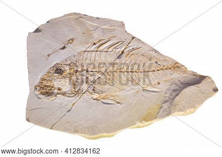 Limestone With The Imprint Of A Fish With A Sail (light. Sparus Brusinai) Is Isolated On A White Bac