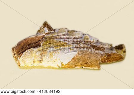 The Symphysis Tooth Of The Eugeneodont Protopirata (latin Protopirata Trautschold) Is Isolated On A