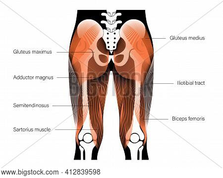 Human Muscular System And Skeleton Anatomical Poster. Gluteus Medius, Gluteus Maximus And Leg Muscle