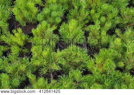 Rows Of Pots With Small Conifers (pinus Mugo, Known As Bog Pine, Creeping Pine Or Dwarf Mountain Pin