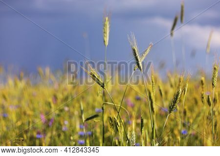 A Close-up Of Some Green Ears In A Wheat Field Ripening Before Harvest In A Sunny Day. Ripening Ears