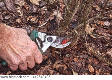Pruning The Blueberry Bush (vaccinium Corymbosum). Pruning Old Branches Previously Marked With Red F