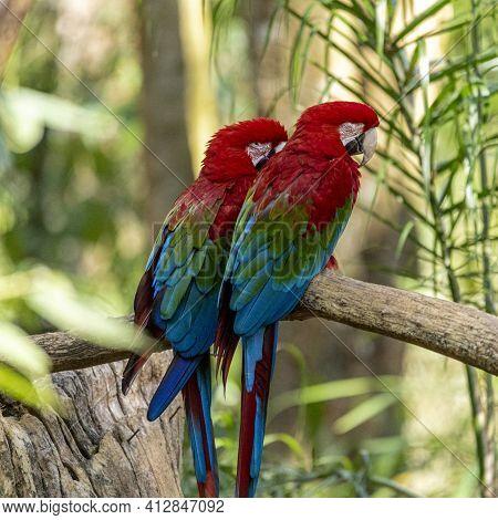 Green Winged Macaw (ara Chloropterus)