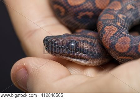 Epicrates Cenchria Is A Boa Species Endemic To Central And South America. Common Names Include The R