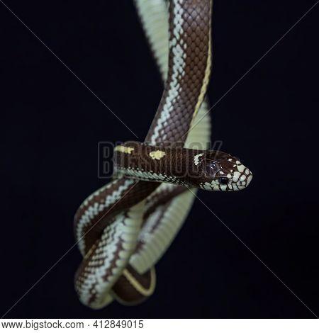 The California Kingsnake (lampropeltis Californiae) Is A Nonvenomous Colubrid Snake Endemic To The W