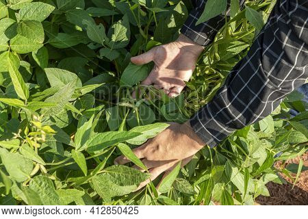 Agronomist Inspecting Soya Bean Crops Growing In The Farm Field. Agriculture Production Concept. You
