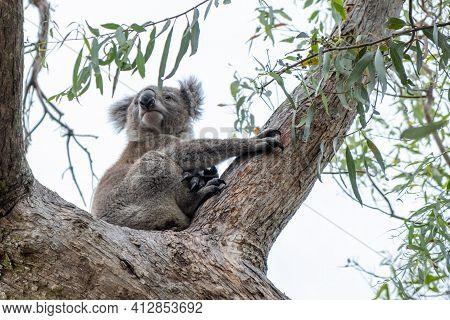 Koala Bear On A Tree In Australia On A Eucalyptus Tree.