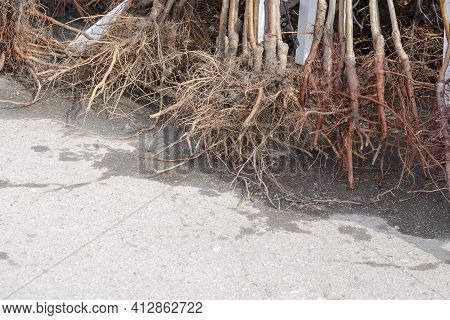 Saplings Of Fruit Trees With Soil Covered Roots. Sale Of Young Trees For Planting At The Farmers' Ma