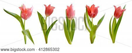 Pink Tulips Flowers Isolated On White Background. Realistic Vector Tulips Set. Spring Floral Vector