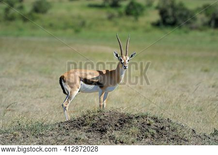 Thomson's Gazelle On Savanna In Africa With Nature