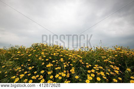 Field With Yellow Marguerite Daisy Blooming Flowers Against Cloudy Sky. Spring Landscape Nature Back