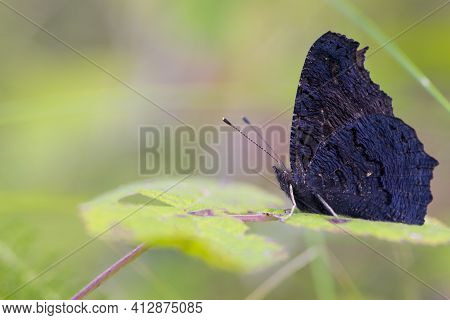 Beautiful Black Butterfly On A Green Background. Large Beautiful Butterfly On A Green Leaf, Close-up