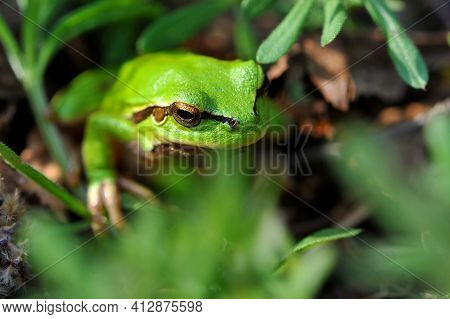 Frog Sits In Green Grass. The Small European Tree Frog, Hyla Arborea, Sits In The Meadow, On Grass I