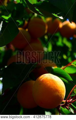 Juicy Beautiful Apricot. Orange Apricots On A Branch With Green Leaves. Close-up Of Apricot On A Bra