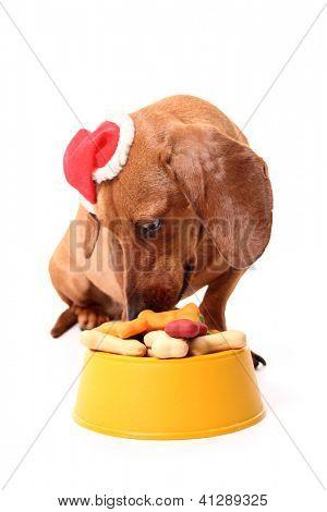 Izolované jezevčík pes nosí klobouk santa jíst chutné misku plnou psa léčí na prostřené